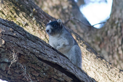 Fox Squirrel IMG_4428