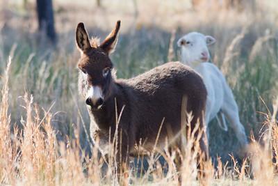 Kings Farm Donkey IMG_4382