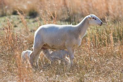 Kings Farm Sheep IMG_4384