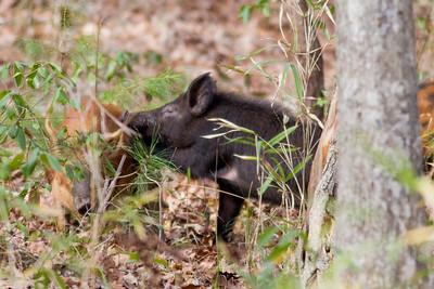 Wild Hog IMG_4378