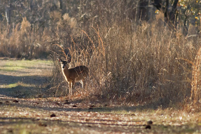 White-tailed Deer at Groten IMG_4432
