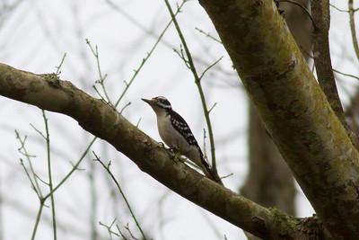 Hairy Woodpecker IMG_1896 rev 1