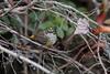 Yellow-rumped Warbler IMG_1899 rev 1