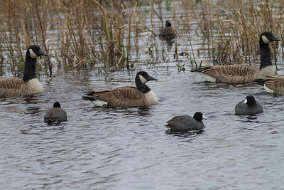 Canada Geese IMG_1802 rev 1