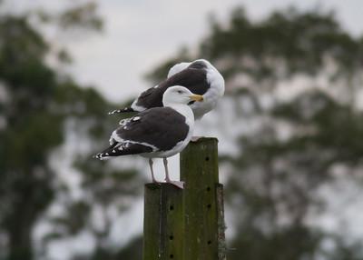 Great Black-backed Gull IMG_1749 rev 1