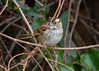 White-throated Sparrow IMG_1737 rev 1