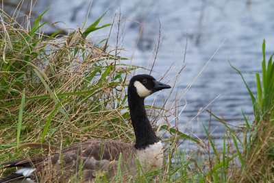 Canada Goose IMG_1880 rev 1_1