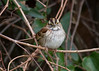White-throated Sparrow IMG_1738 rev 1