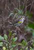 Yellow-rumped Warbler IMG_1900 rev 1