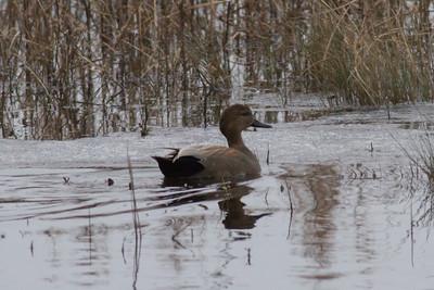 Black Duck IMG_1811 rev 1