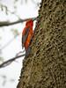 Scarlet Tanager, Ontario
