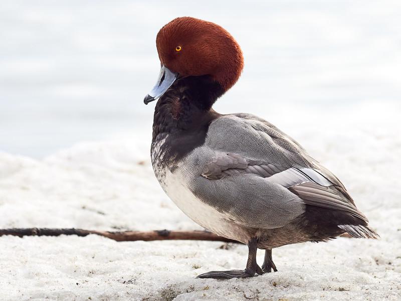Redhead, Ontario