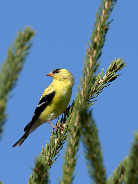 American Goldfinch - male, Ontario