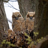 Great Horned Owl, Ontario