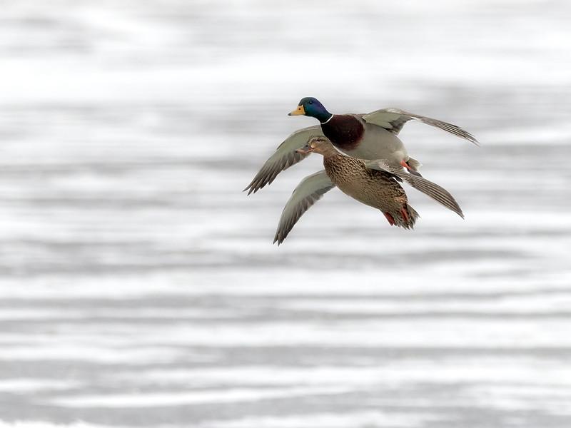 Mallards - male and female, Ontario