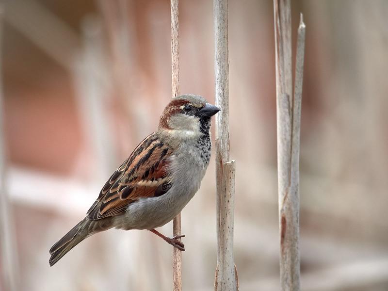 House Sparrow - male, Ontario