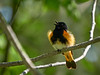 American Redstart - male, Ontario