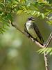 Eastern Kingbird, Ontario