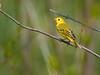 Yellow Warbler, Ontario