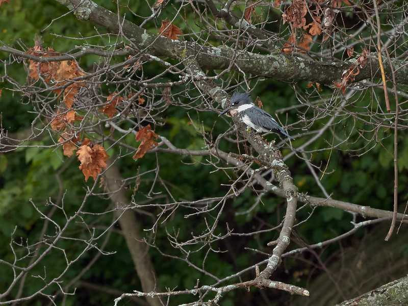 Belted Kingfisher - male, Ontario