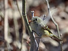Ruby-crowned Kinglet, Ontario