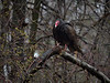 Turkey Vulture, Ontario