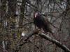 Turkey Vulture, Ontario
