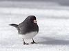Dark-eyed Junco, Ontario