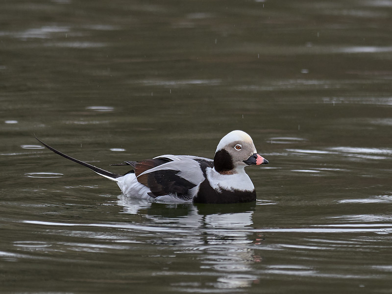 Long-tailed Duck - male, Ontario