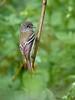 Least Flycatcher, Ontario