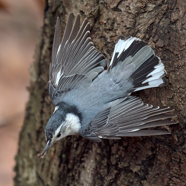 White-breasted Nuthatch, Ontario