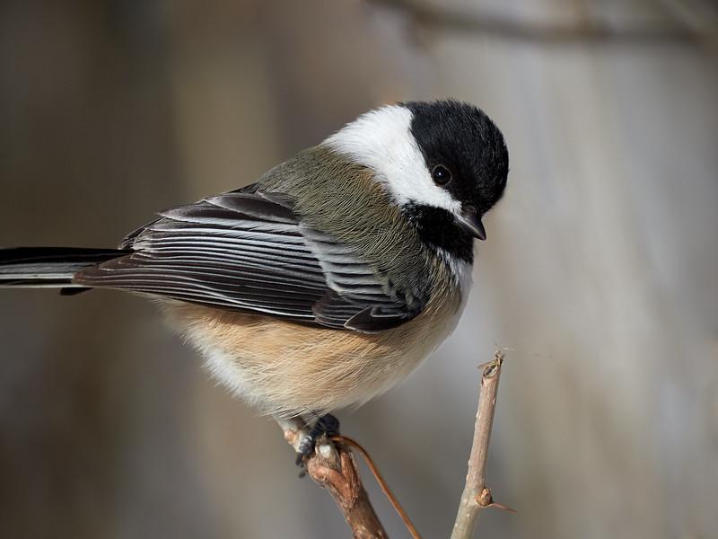 Black-capped Chickadee, Ontario