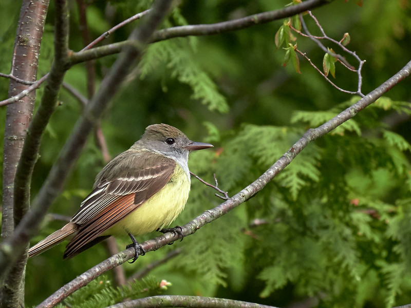 Great-crested Flycatcher, Ontario