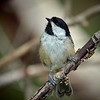 Black-capped Chickadee, Ontario