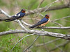 Barn Swallows, Ontario