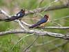 Barn Swallows, Ontario