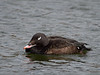 Whire-winged Scoter - male
