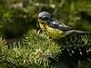 Magnolia Warbler, Ontario