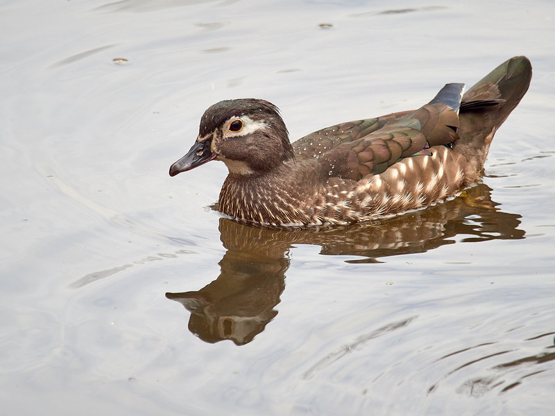 Wood Duck, female, Ontario
