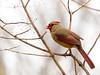 Cardinal, Female, Ontario