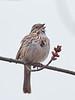Song Sparrow, Ontario