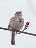 Song Sparrow, Ontario