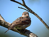 House Sparrow - female, Ontario