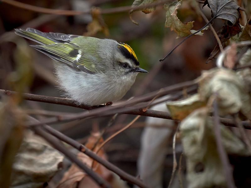 Golden-crowned Kinglet, Ontario