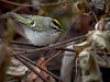 Golden-crowned Kinglet, Ontario
