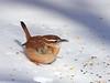 Carolina wren, Ontario