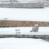 Snowy Owl, Ontario