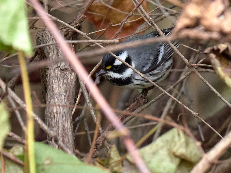 Black-throated Gray Warbler. Ontario