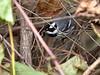 Black-throated Gray Warbler. Ontario