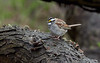 Whire-throated Sparrow, Ontario